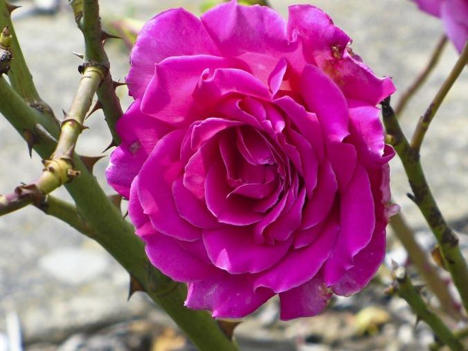 rose-83955_1280