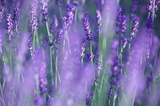 lavender relaxing PJ
