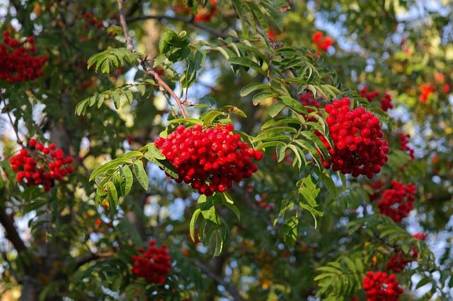 ash berries - life PJ