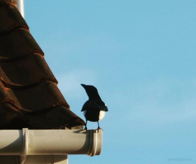 one _ encouraging incidences of the number one - magpie on the edge (C)joylenton @poetryjoy.com