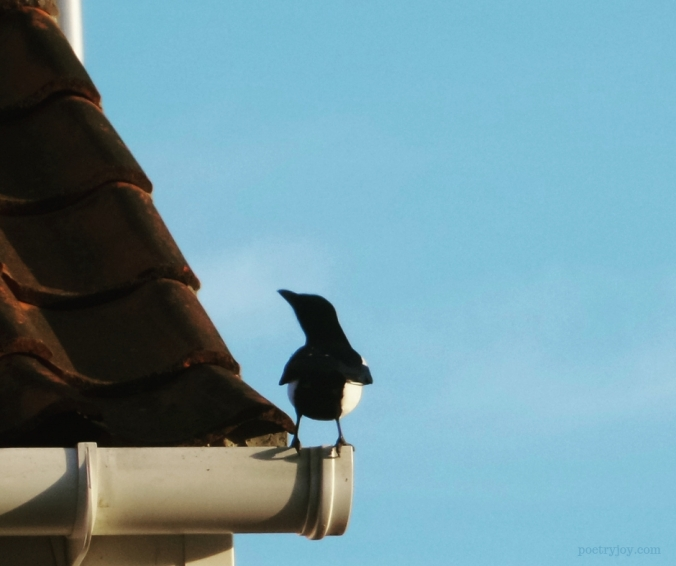 one _ encouraging incidences of the number one - magpie on the edge (C)joylenton @poetryjoy.com