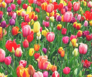 more - experiencing life's abundance while living with chronic illness - tulips @poetryjoy.com