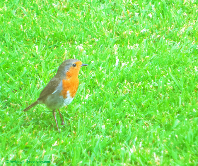 nature - its ability to calm and heal our souls - robin on grass (C) joylenton @poetryjoy.com