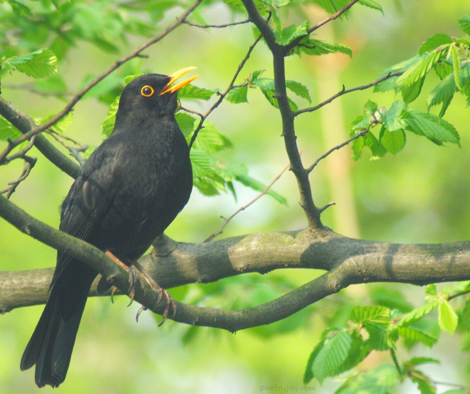 hope - blackbird singing on a tree - listening for the sound of hope in your soul @poetryjoy.com