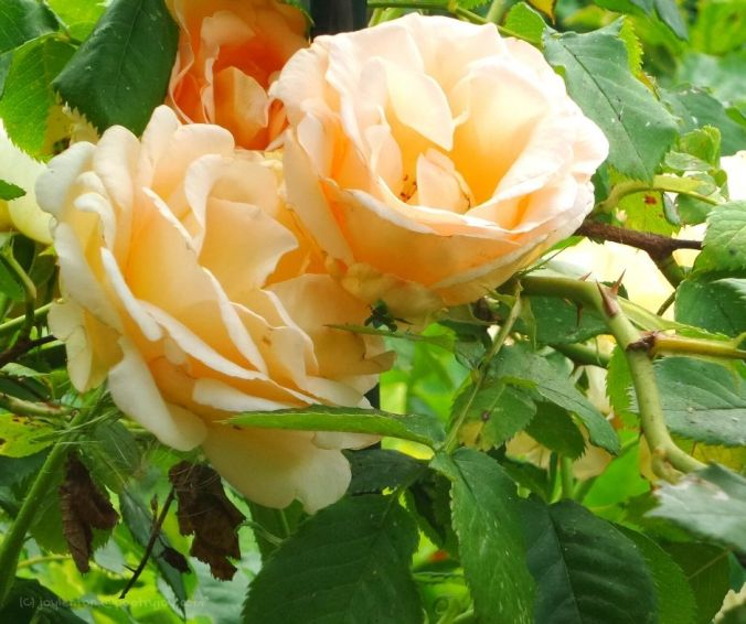 summer - roses - leaves - the joy of it lives on in our memories (C) joylenton @poetryjoy.com